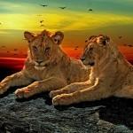 lions-1230870_1920